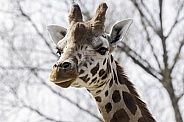 Rothchild's Giraffe Close Up Head Shot