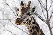 Rothchild's Giraffe Close Up Head Shot