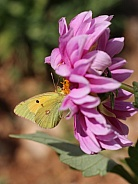 Clouded Yellow Butterfly On Dahlia
