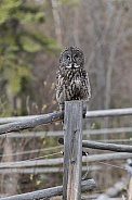 Great Grey Owl Perched on a Fence