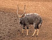 Nyala Bull