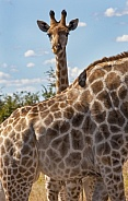 Baby Giraffe standing behind its mother - Botswana