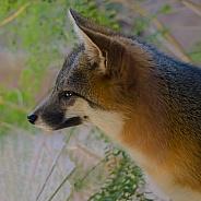 Grey Fox Portrait