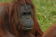 Bornean Orangutan - Close Up