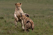 Lion cubs play fighting 3