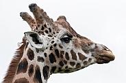 Male Rothschild's Giraffe Head Shot