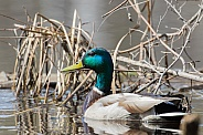 Male Mallard Duck Closeup in the Reeds