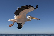 Pink-backed Pelican - Welvis Bay - Namibia