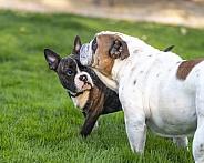 Puppy checking out a bulldog