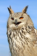 The western Siberian eagle-owl