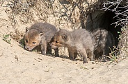 Young Fox Kits