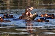 Pod of Hippopotamus - Chobe River - Botswana
