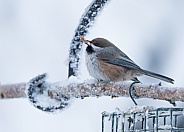 Boreal Chickadee in Winter