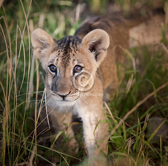 Lion cub in the brush