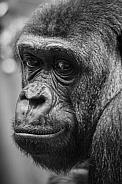 Head Study - Lowland Gorilla