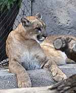 Puma at the zoo on a rock
