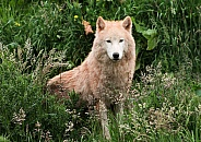 Arctic Wolf Sitting in Grass Looking Forward