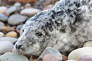 Grey seal pup on pebbles
