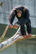 Chimp Balancing on Branch