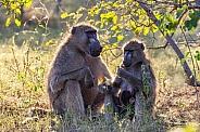 Chacma Baboons - Botswana