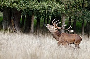 Red Deer in nature