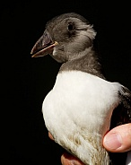 Puffling (Young Atlantic Puffin)