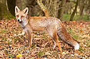 Red fox vulpes