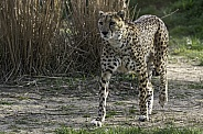 Cheetah Walking Full Body