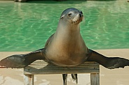 Sea Lion With Flippers Out