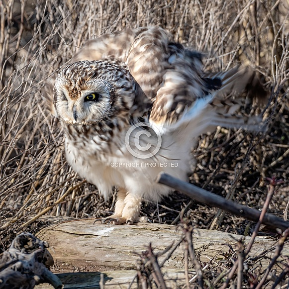 Short Eared Owl fluffy feathers