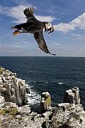 Puffins (Fratercula arctica) - Farne Islands - England