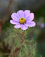 Light Pink Cosmos Flower