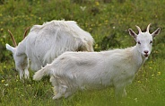Great Orme Kashmiri Goats
