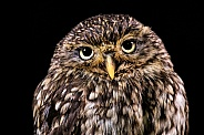 Little Owl Close Up Black Background