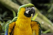 Blue and Gold Macaw Close Up