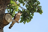 Kestrel or Hobby