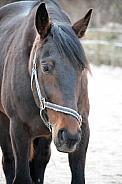 Warm blood horse