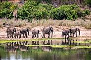 African Elephants (wild)