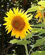 Giant Mammoth Sunflowers