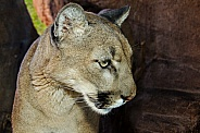 Mountain Lion in Profile