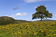 Yellow Gorse on moorland - Scotland