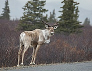 Northern Caribou or Reindeer