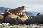Walrus and Warluses