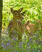 Fallow Deer Hinds