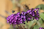 Blue banded bee.