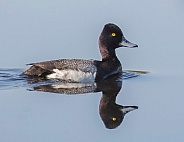 Male Goldeneye Duck