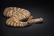 Rattlesnake on Black Background