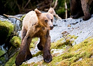 Wild grizzly cub in Alaska