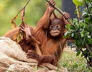 Baby Sumatran Orangutan Climbing
