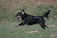 Mongrel Dog (origin breeds unknown)